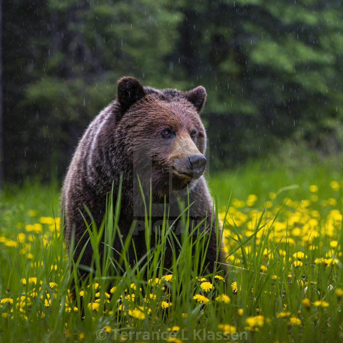 """""""A grizzly bear in the rain in a field of dandelions in Jasper National Park, Alberta, Canada."""" stock image"""