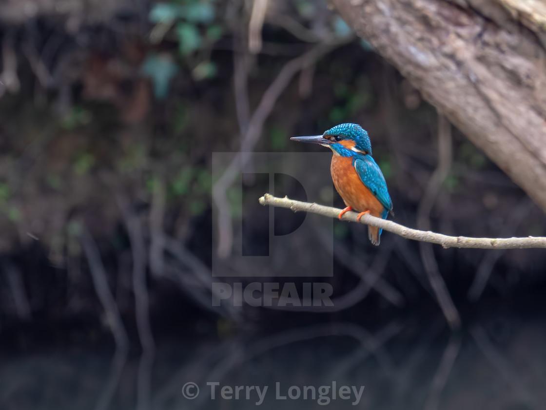 """Male Kingfisher"" stock image"
