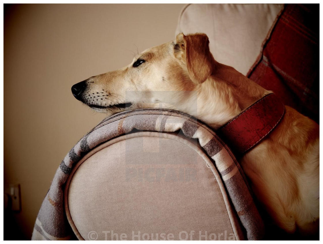 """The Lounging Lurcher"" stock image"