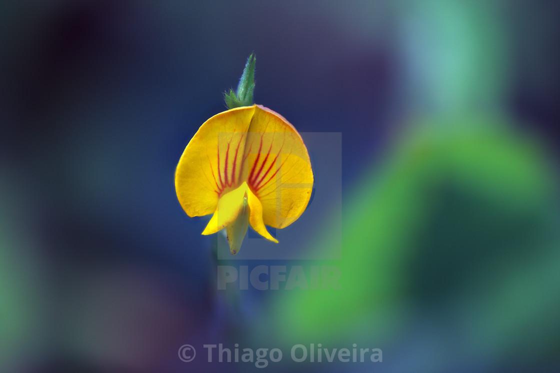 """""""Zornia reticulata"""" stock image"""