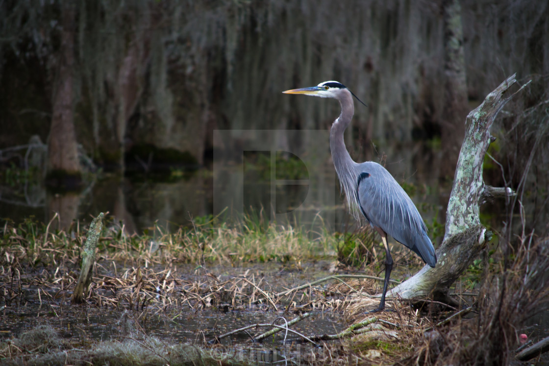 """Louisiana Swamp Bird"" stock image"