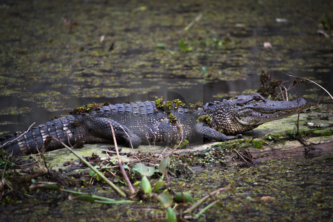 """Louisiana Swamp Alligator"" stock image"