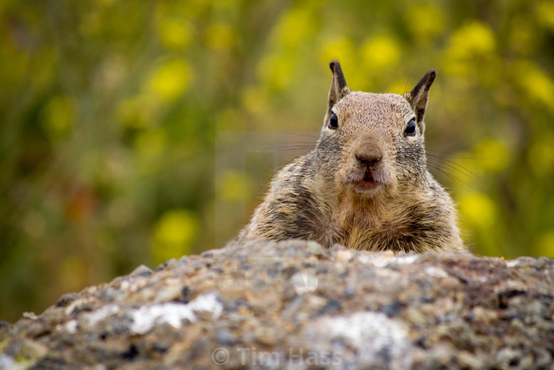 """""""Curious Squirrel"""" stock image"""