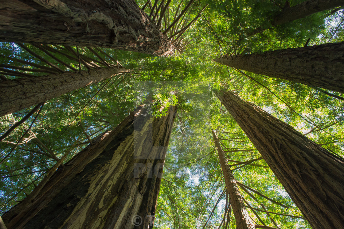 """""""Redwood Cathedral"""" stock image"""