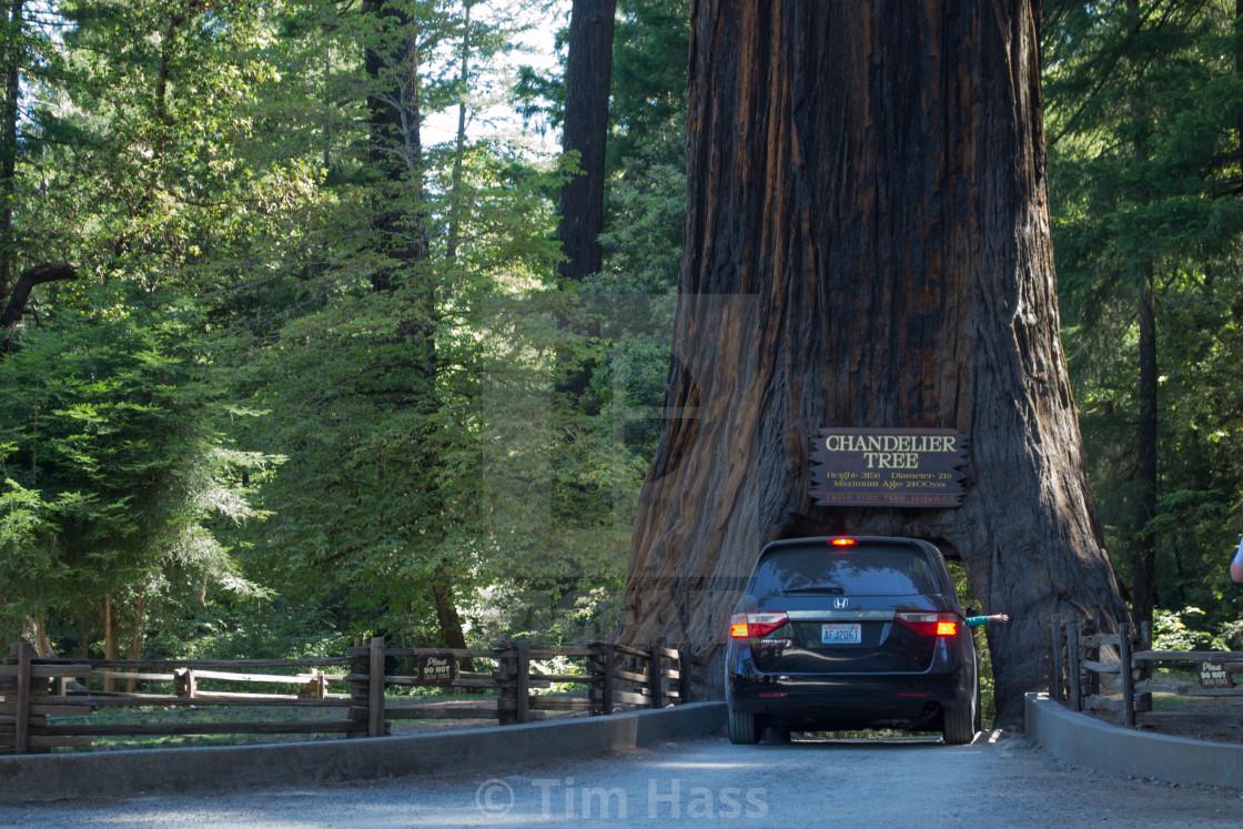 """Drive-Thru Tree"" stock image"