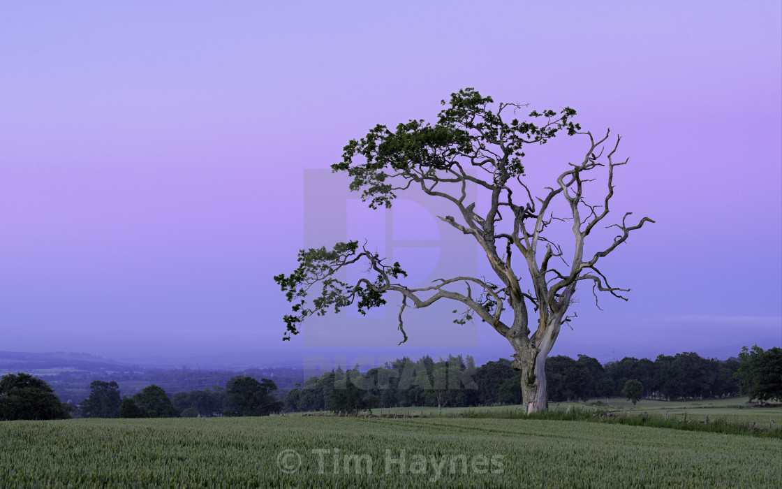 """""""Characterful Tree, Muthill"""" stock image"""