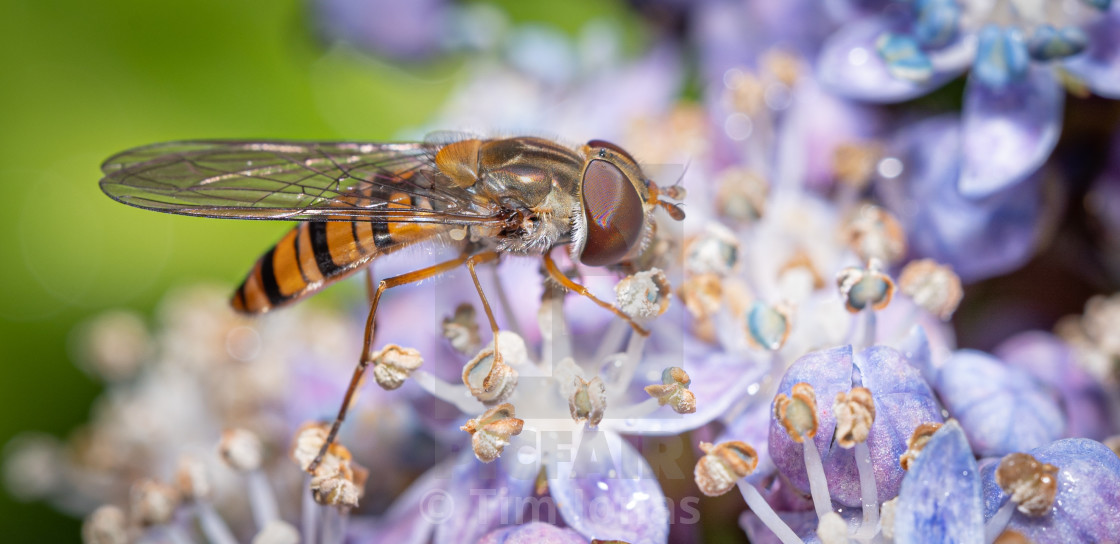 """""""Hover Fly on flower"""" stock image"""