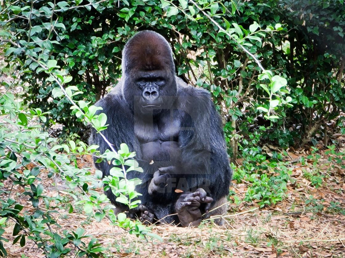 """""""Gorilla in Animal Kingdom"""" stock image"""