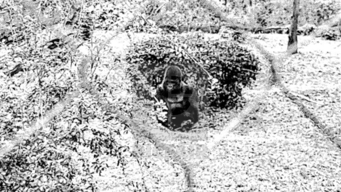 """Fenced in gorilla at Animal Kingdom"" stock image"