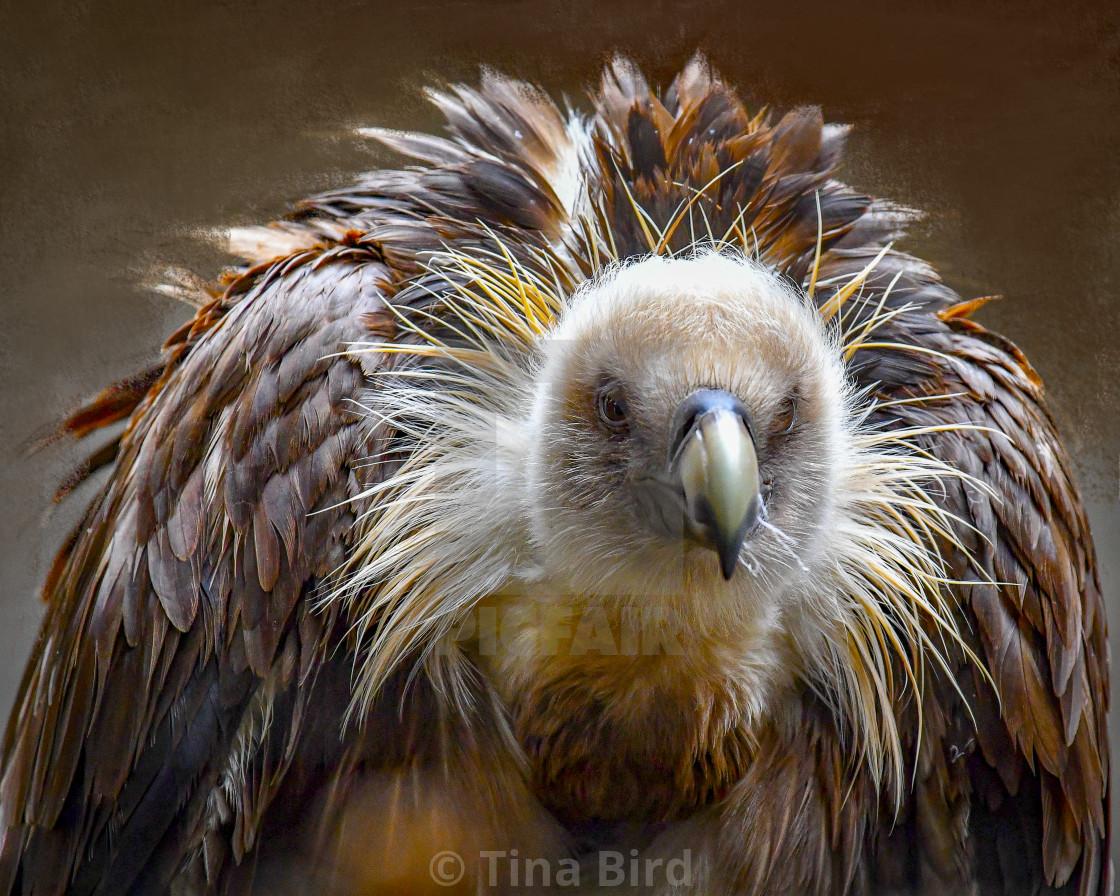 """Eurasian Griffon Vulture"" stock image"