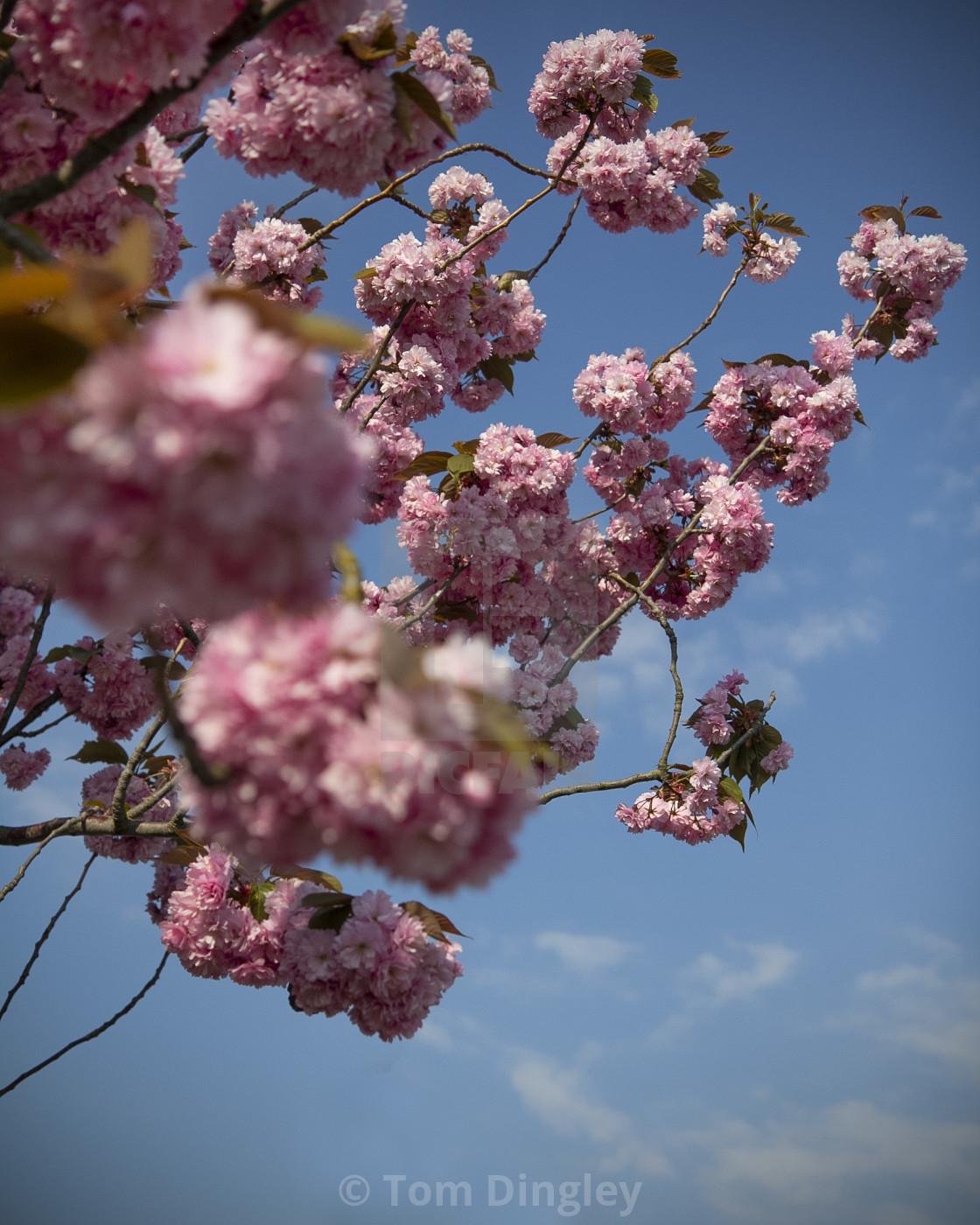 """Cherry Blossom & Blue Skies"" stock image"
