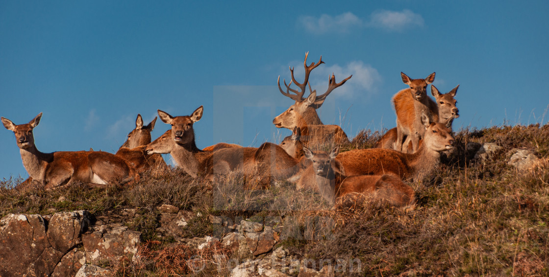 """""""Red Deer Stag and Harem"""" stock image"""