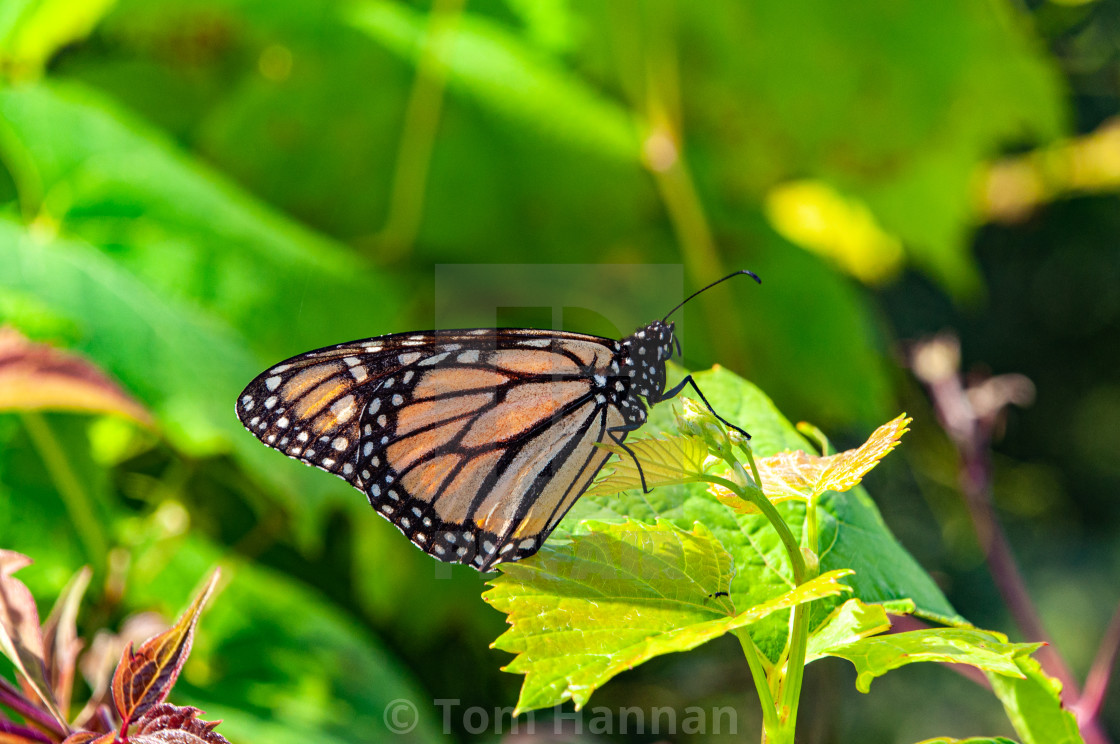 """""""Hobbiton Butterfly"""" stock image"""