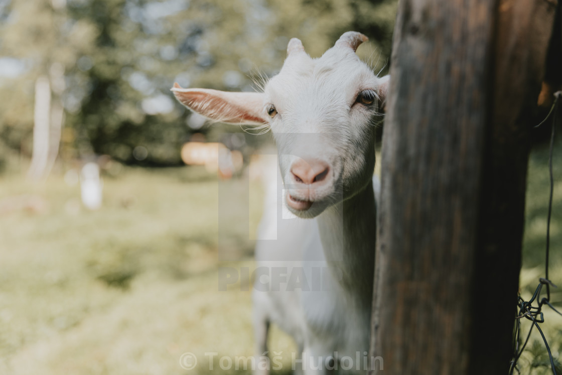 """""""Funny looking, curious young white horned chewing goat"""" stock image"""