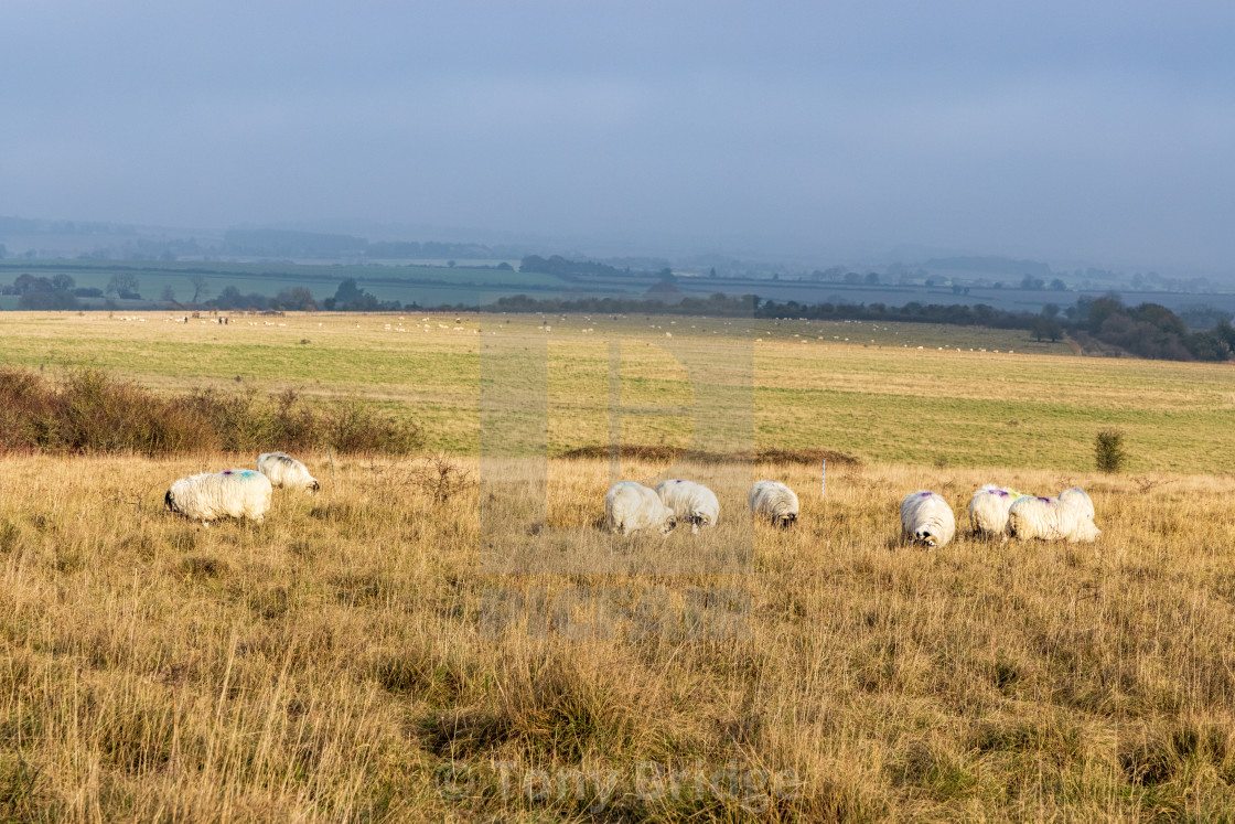 """Sheep grazing on Martin Down, Hampshire"" stock image"