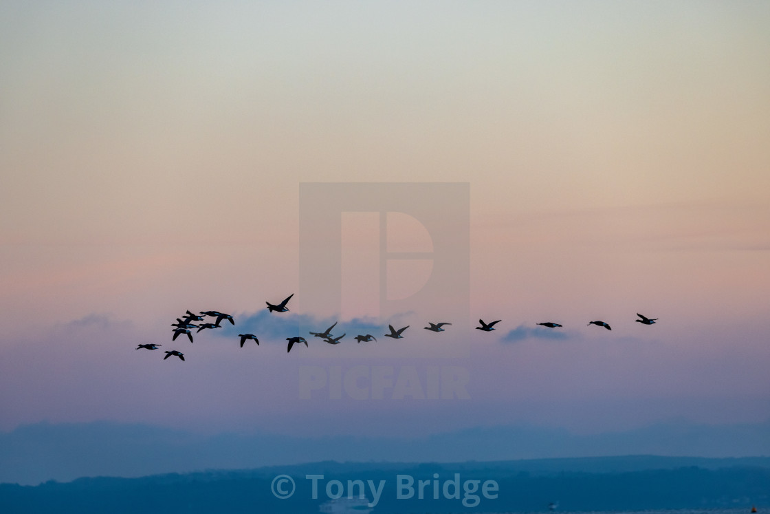 """""""Geese above the Solent"""" stock image"""