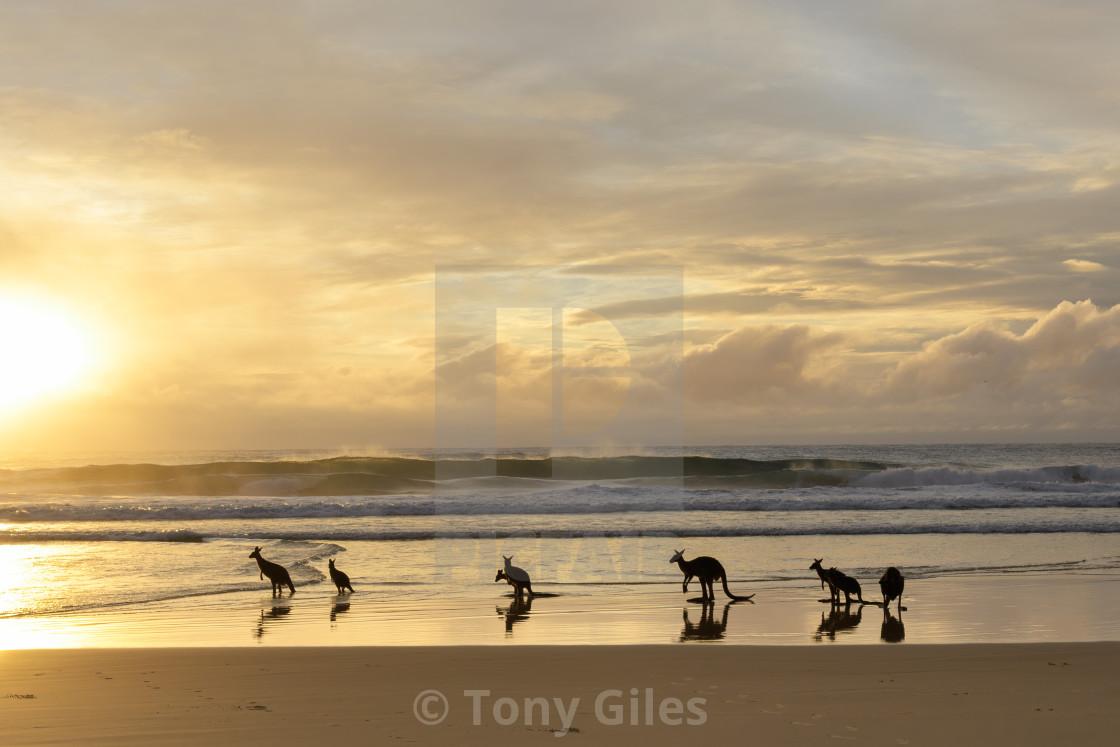 """""""Kangaroos Welcoming the Morning Sun"""" stock image"""