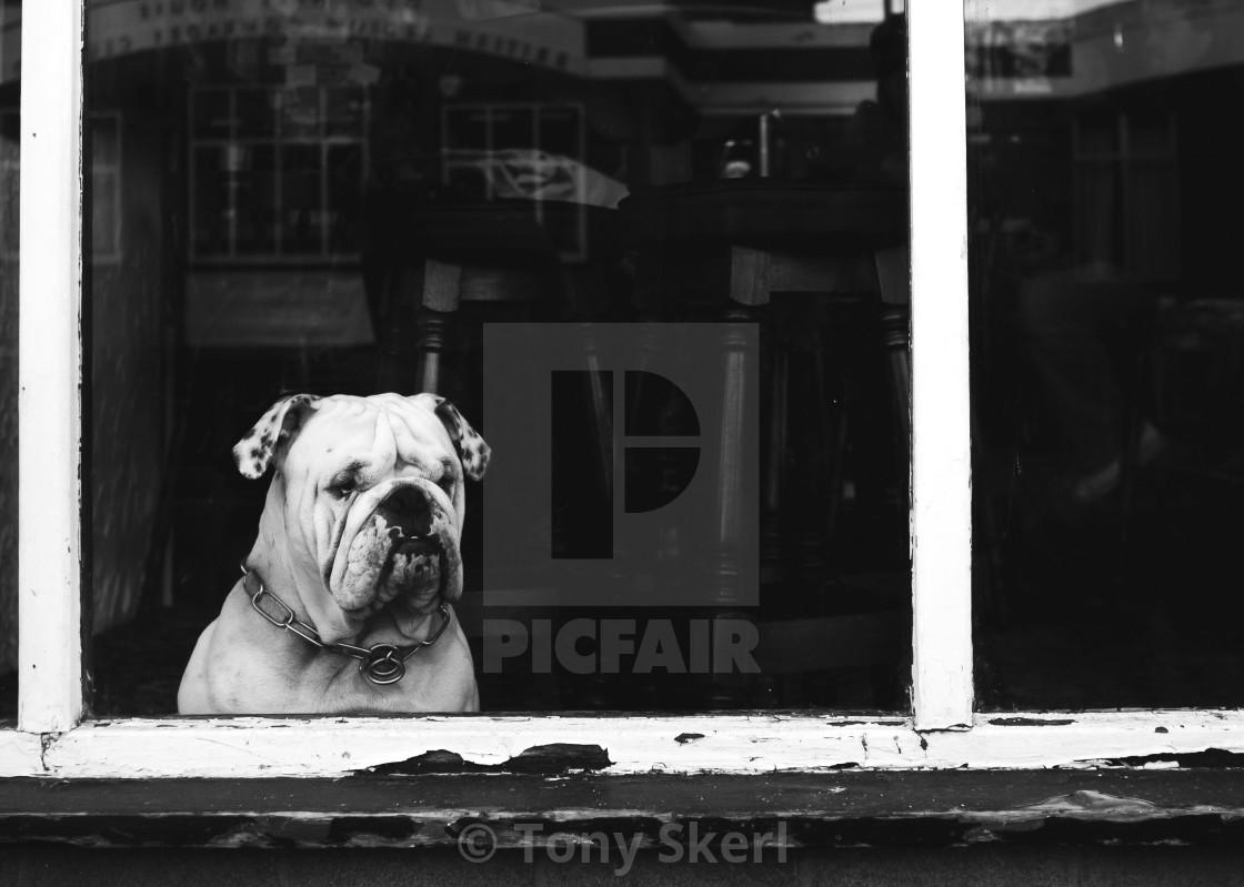 """""""British Bulldog"""" stock image"""