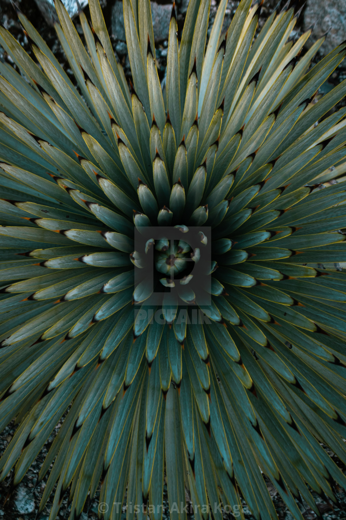 """""""Yucca in the Gabes"""" stock image"""