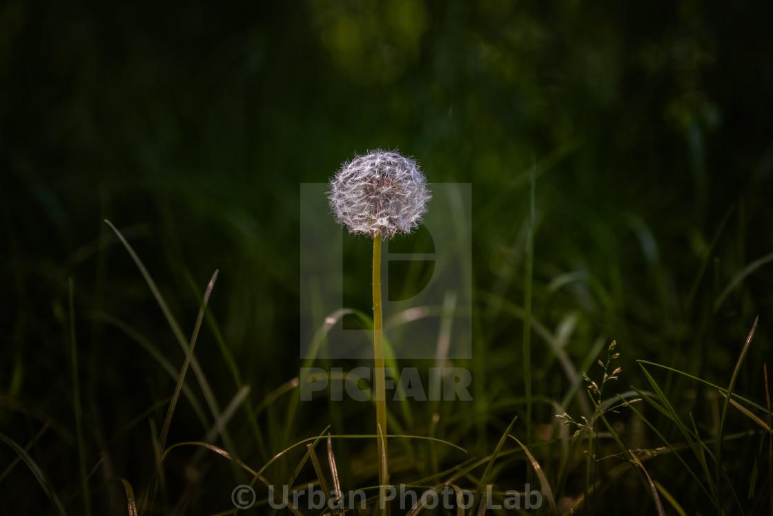 """Bright round common dandelion"" stock image"