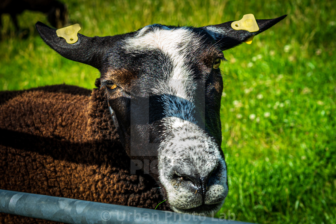 """Handsome brown sheep 3"" stock image"