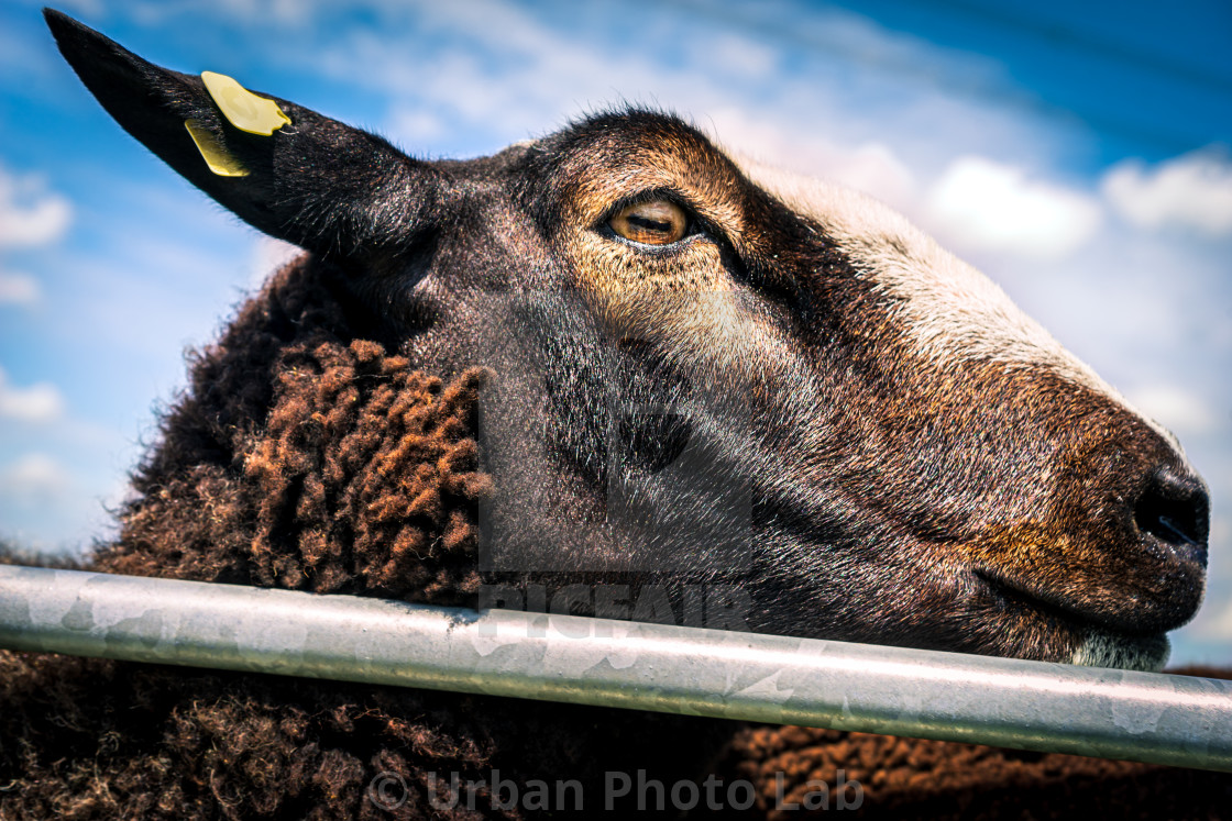 Handsome brown sheep 9