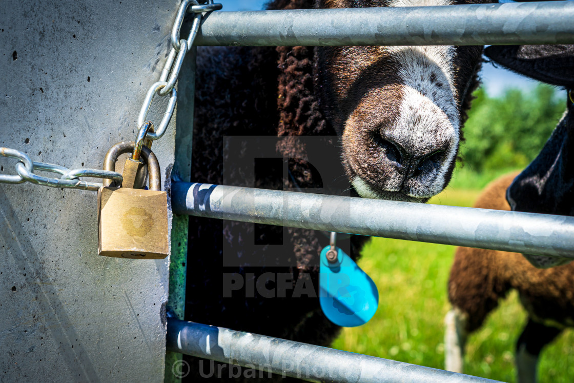"""Handsome brown sheep 8"" stock image"