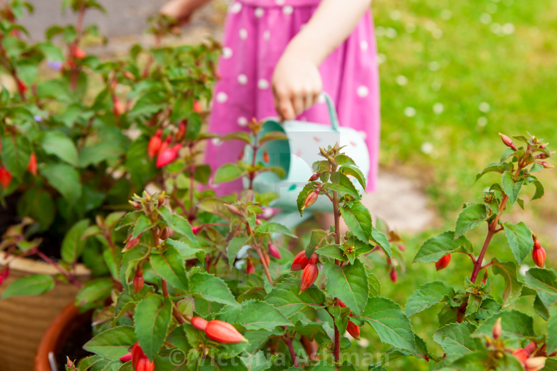 """Pink fuschias, with little girl in background watering plants"" stock image"
