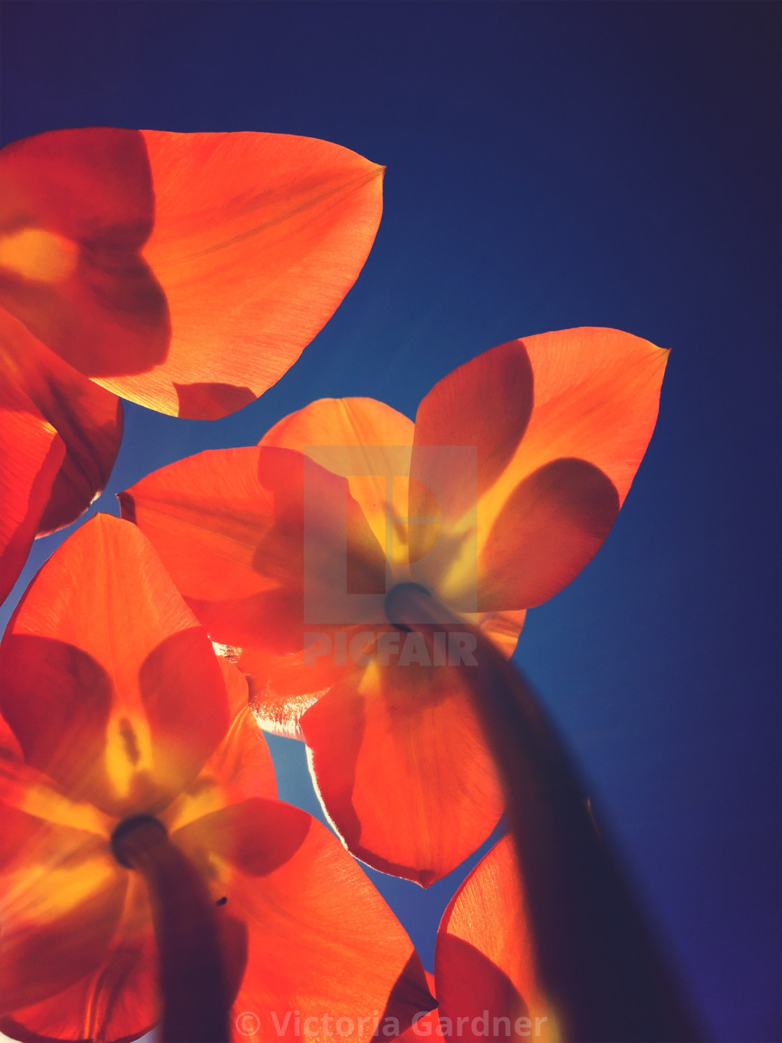 """Looking underneath tulip flowers"" stock image"