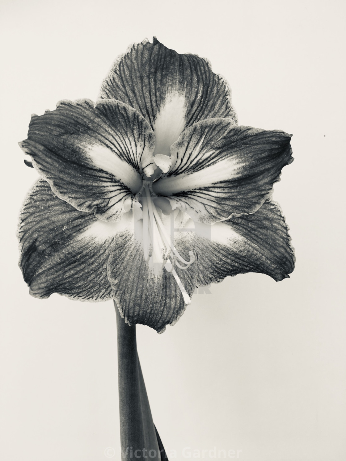 """Amaryllis flower in black and white"" stock image"