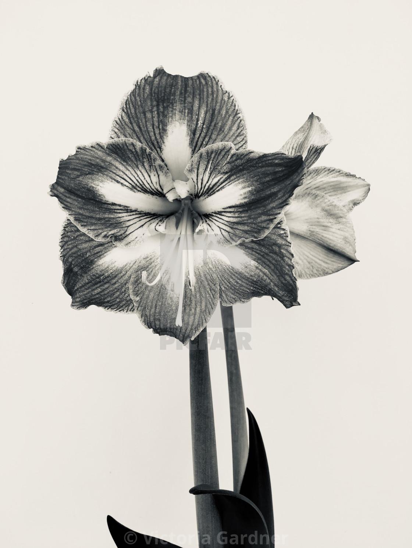 """Amaryllis flower in black and white"" stock image"