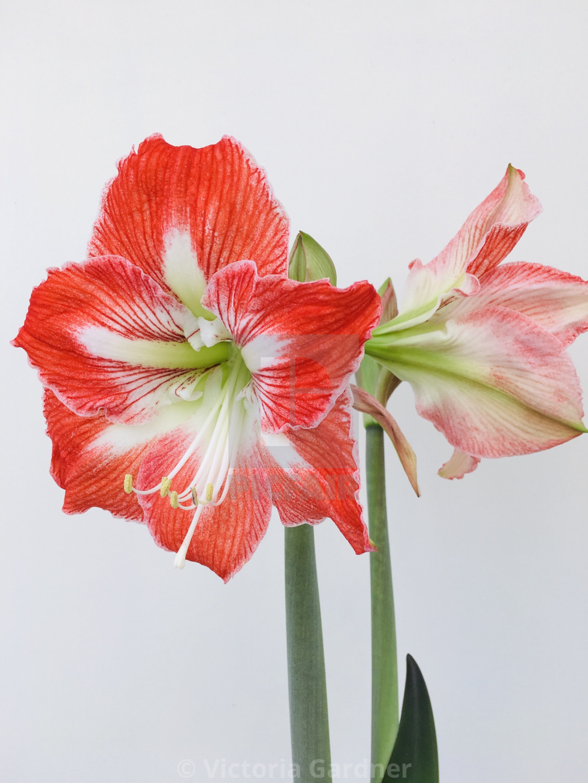 """Red and white amaryllis flower"" stock image"