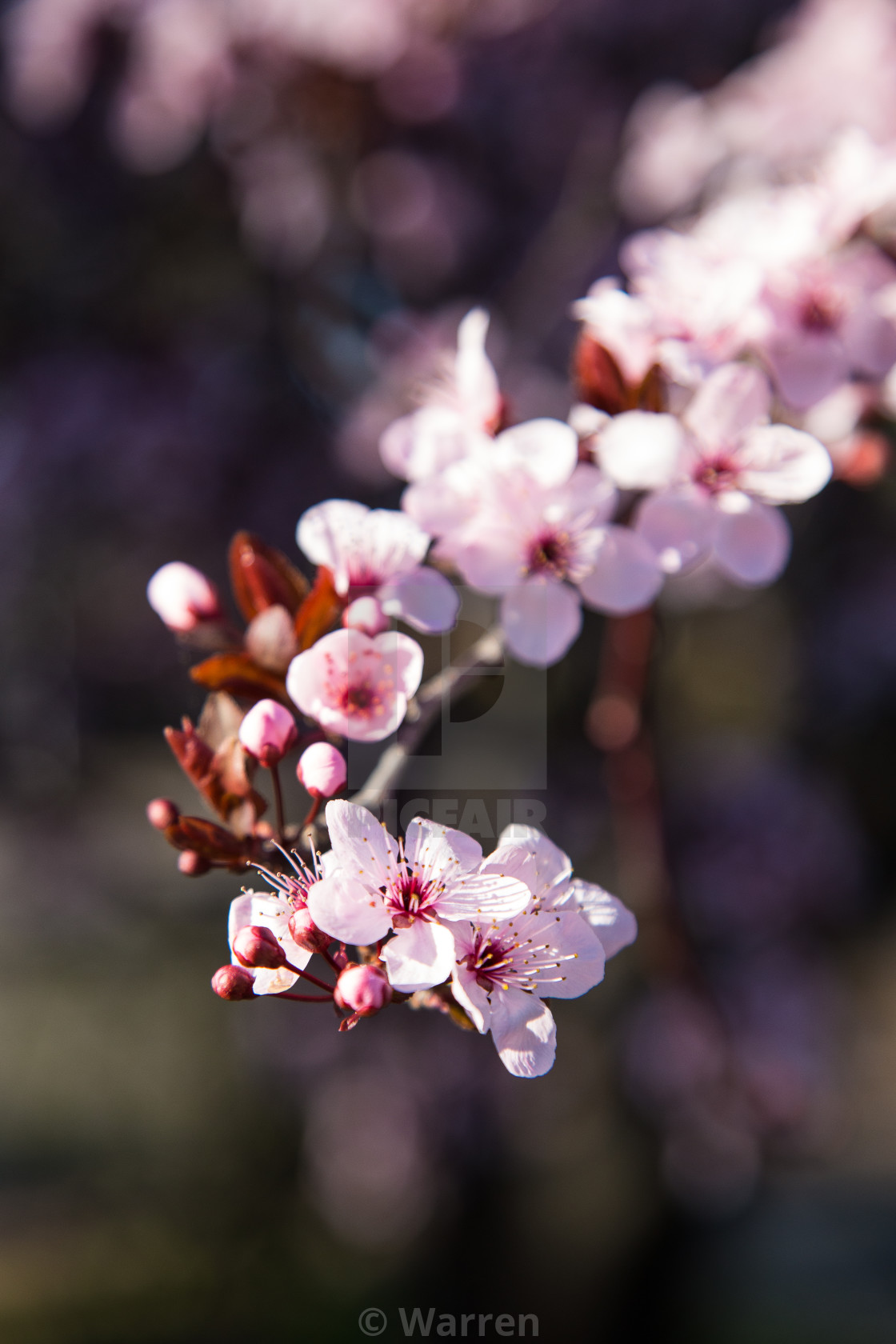 """""""Spring Blossoms"""" stock image"""