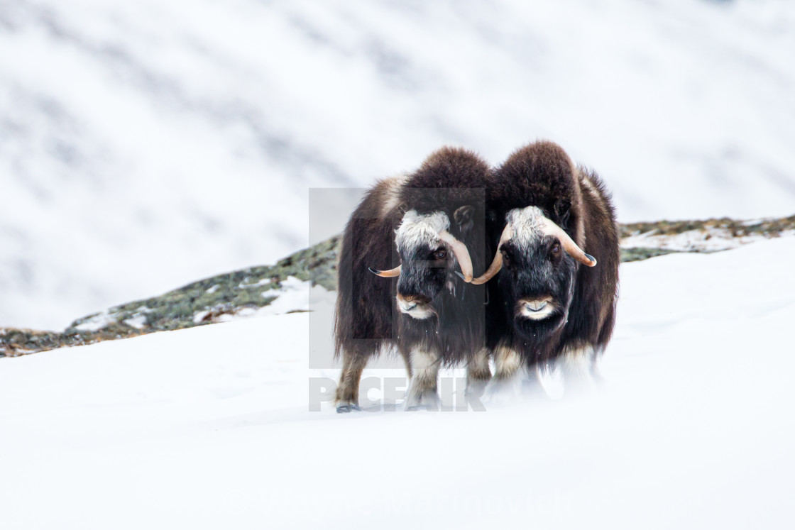 """""""Two Musk ox practice their fighting skills in the Dovrefjell National Park"""" stock image"""