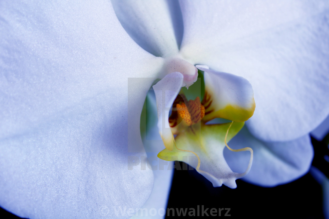 """""""The Essence of Orchid"""" stock image"""