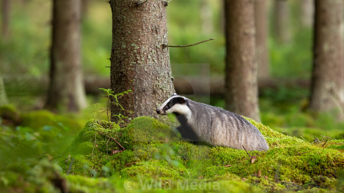 """Adult european badger walking on green moss in summer forest"" stock image"