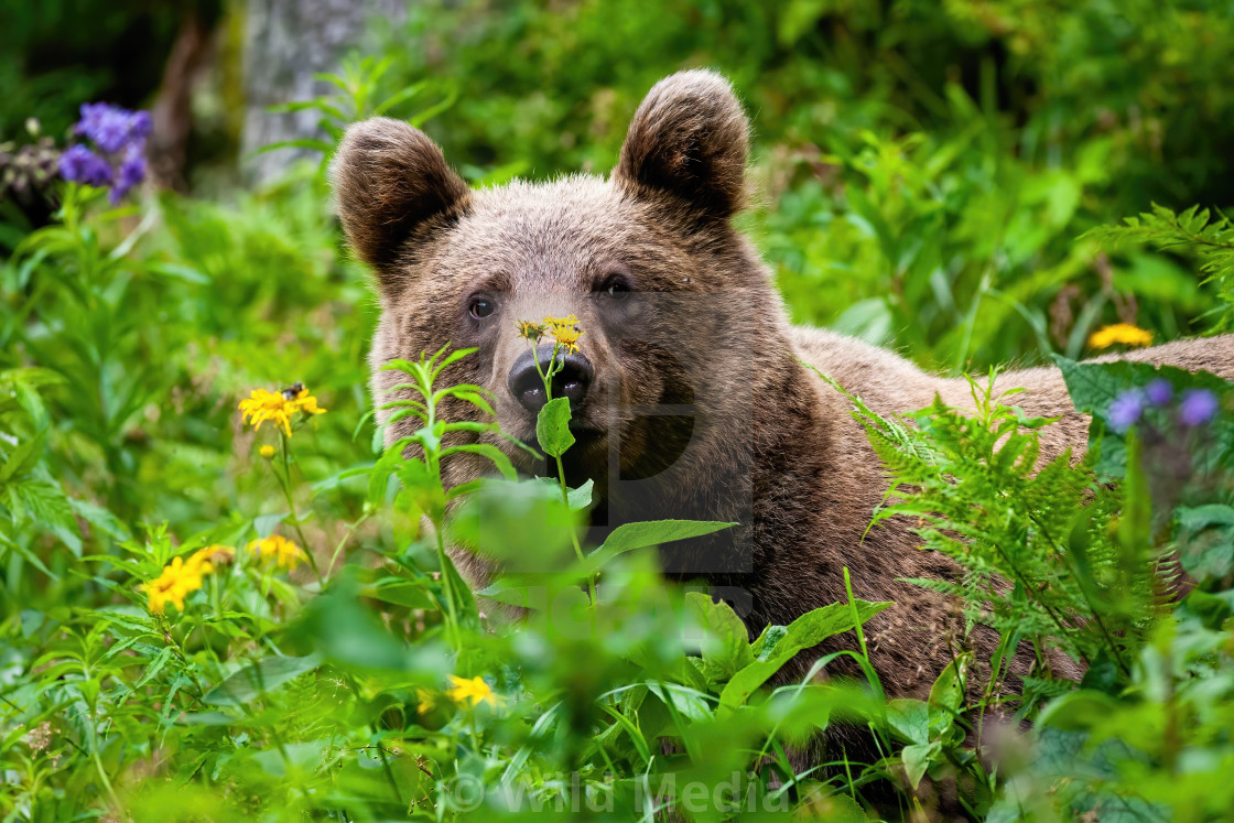 """Curious brown bear staring in the summer greenery."" stock image"