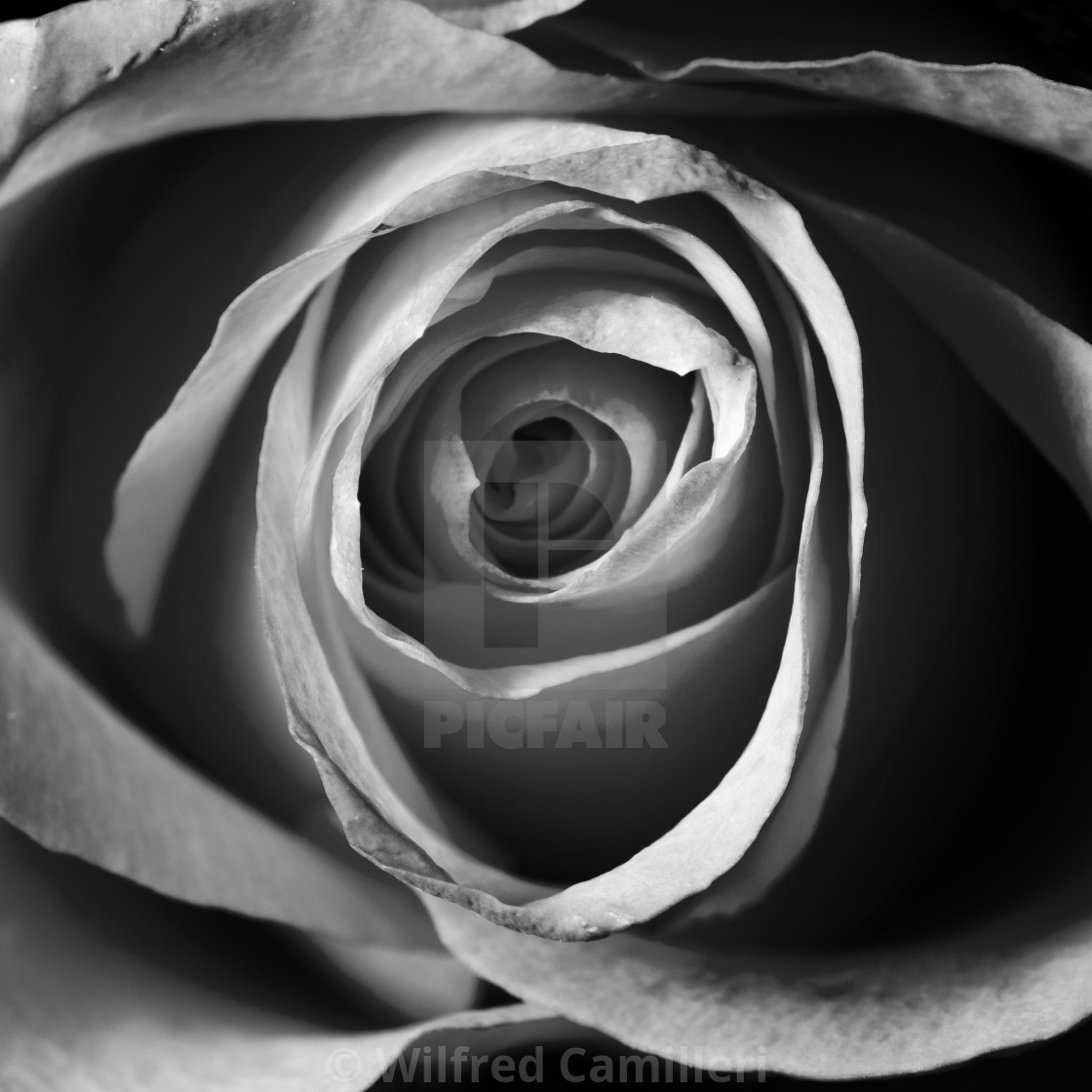 """Rose's heart"" stock image"