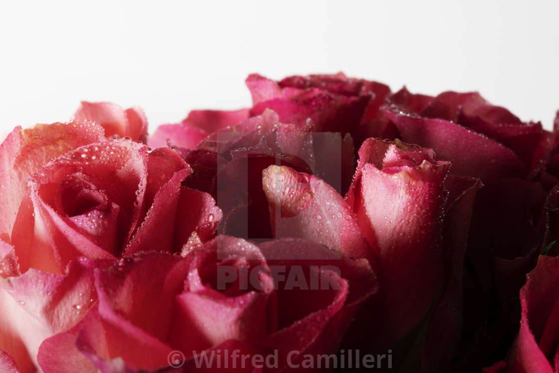 """""""Roses"""" stock image"""