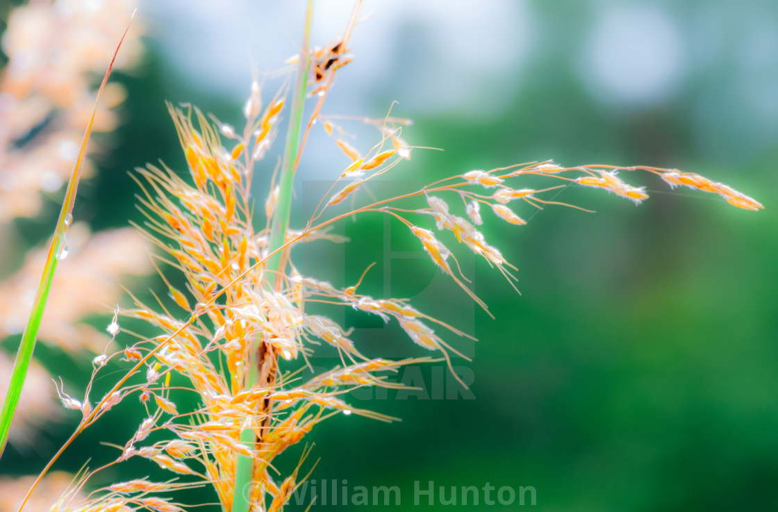 """""""Grass and Dew with Green Background"""" stock image"""