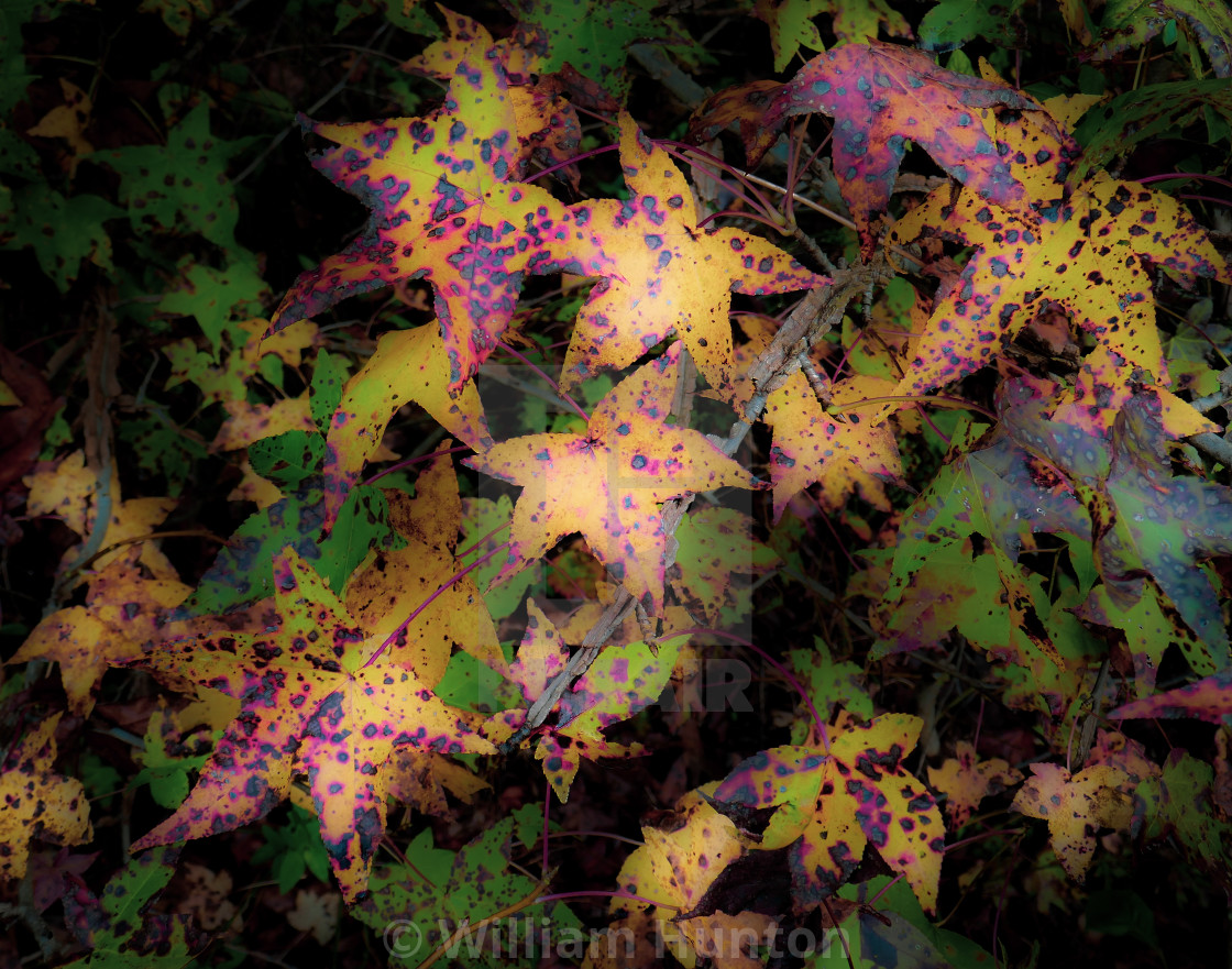 """""""Spotted Leaves in Fall"""" stock image"""