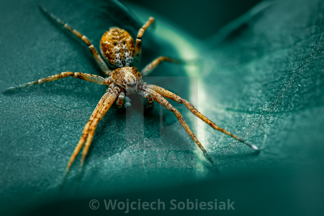 """Arctic spider"" stock image"
