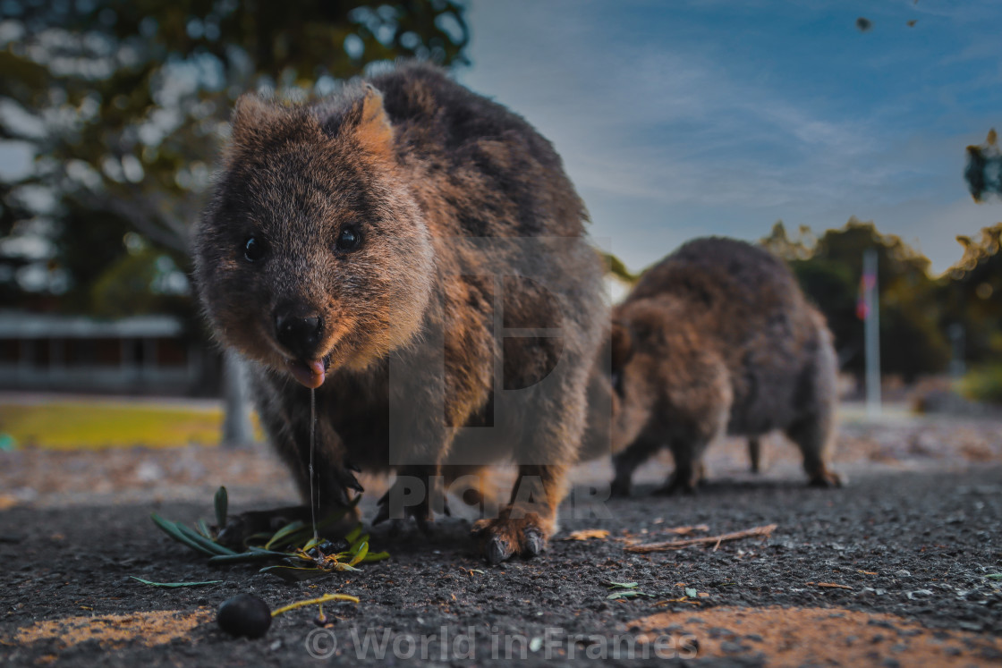 """""""Two quokkas eating and drooling on the road"""" stock image"""