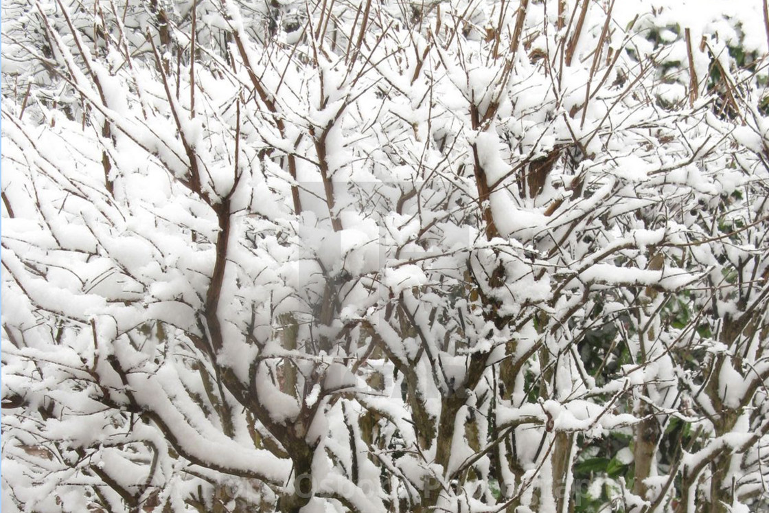 """""""snow covered leafless bush"""" stock image"""