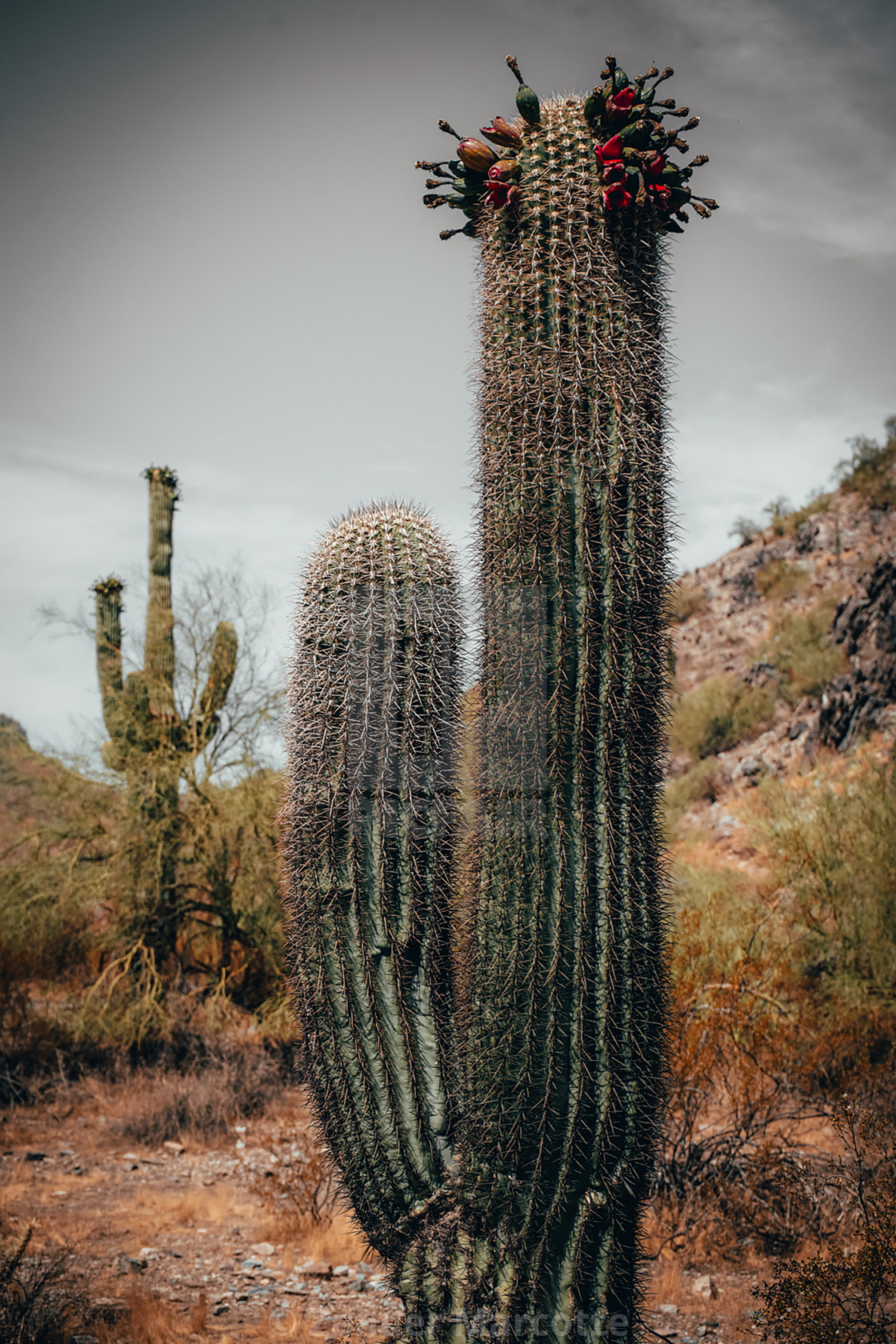 """""""Crowned Cactus"""" stock image"""