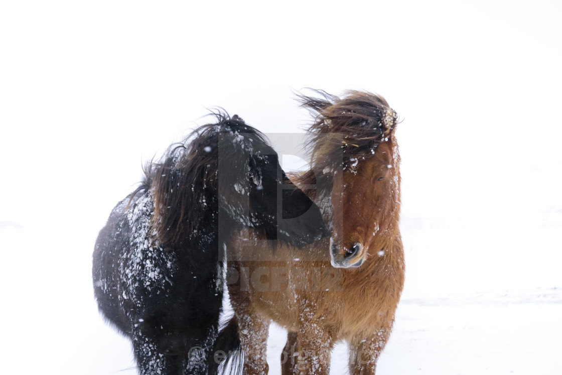 """""""Horses in a storm"""" stock image"""