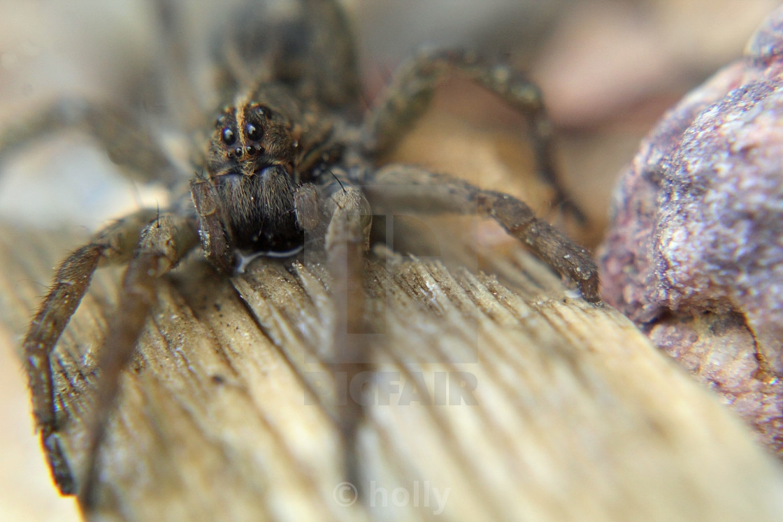 """""""wolf spider close up"""" stock image"""