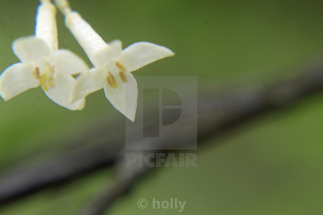 """""""two white blooms"""" stock image"""