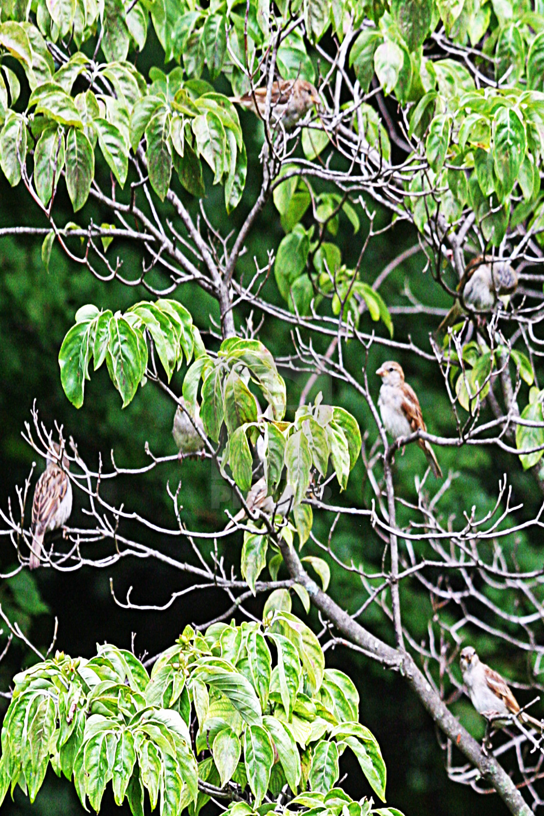 """""""six sparrows"""" stock image"""
