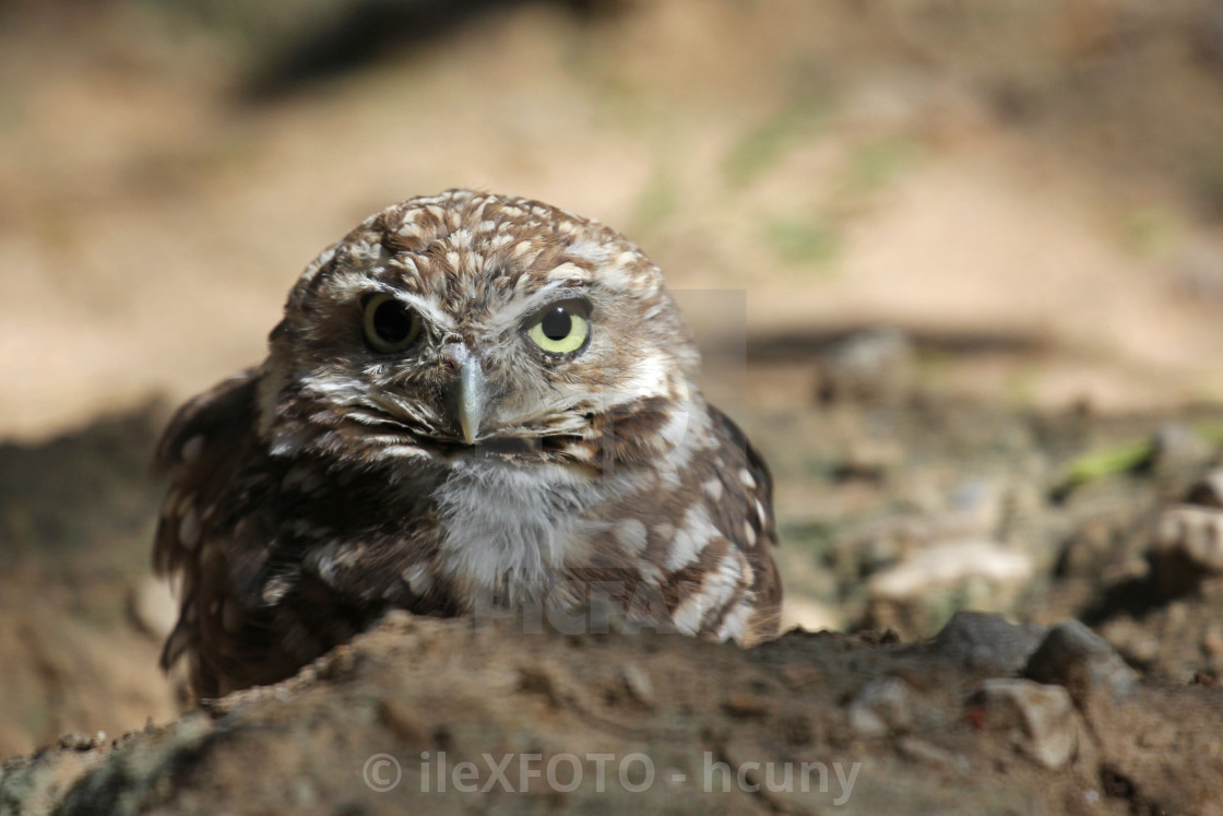 Burrowing owl tightens its pupil